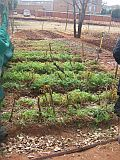 food garden - veggies growing_3