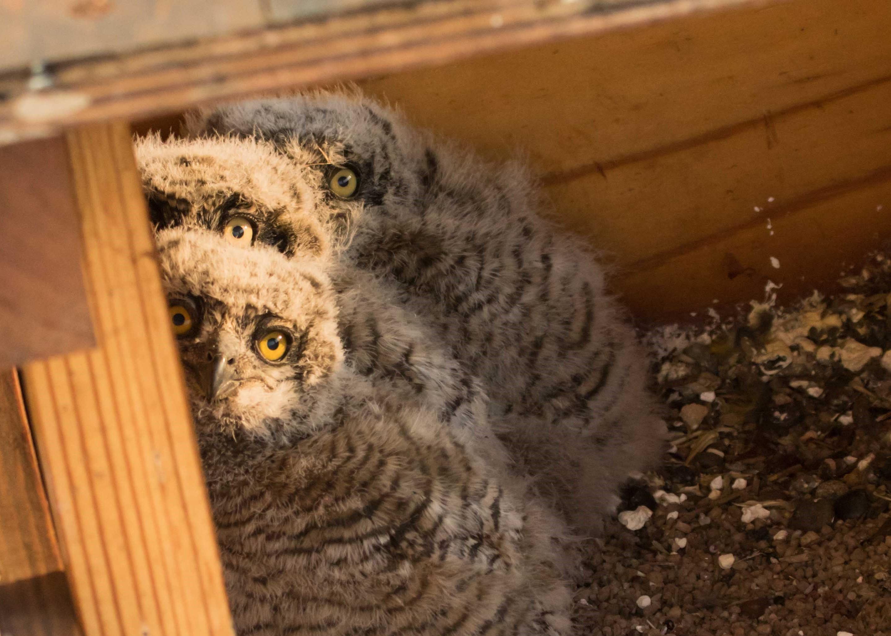 The latest owl chicks - September 2019