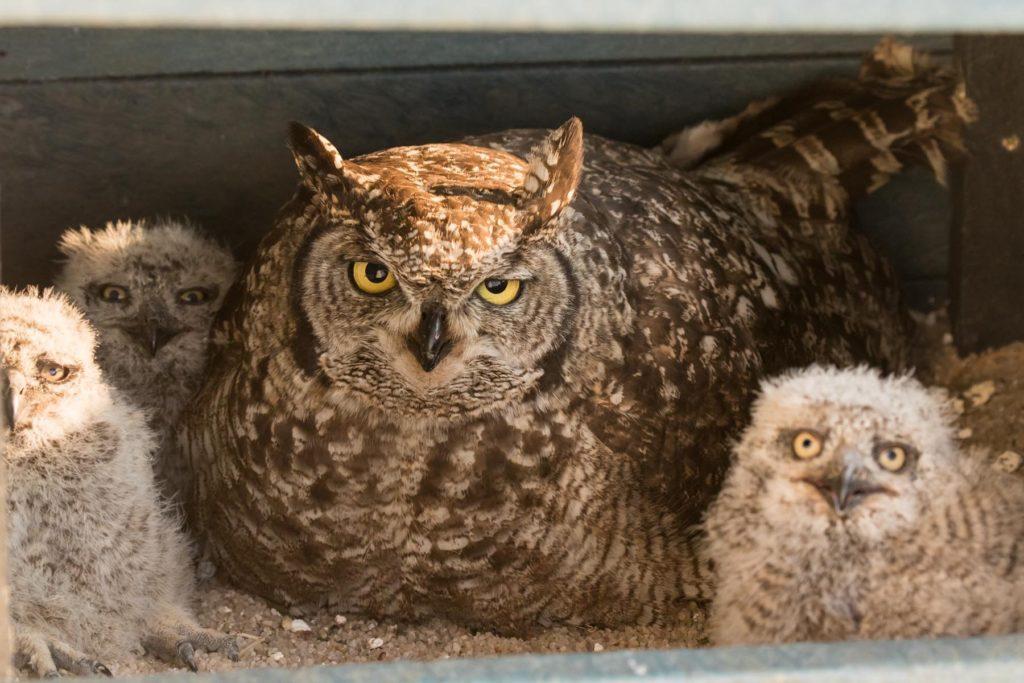 Relaxed mother Owl and 3 chicks 22092020