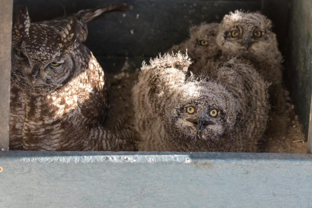 Mother Owl and 3 chicks 27092020