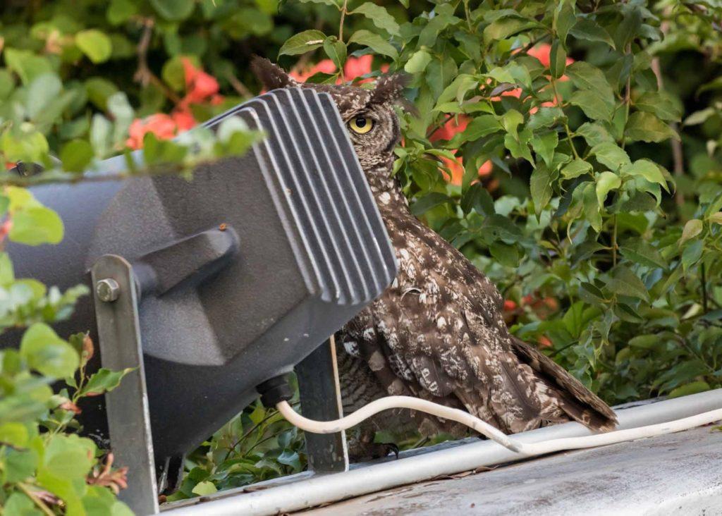 Male owl 08122020