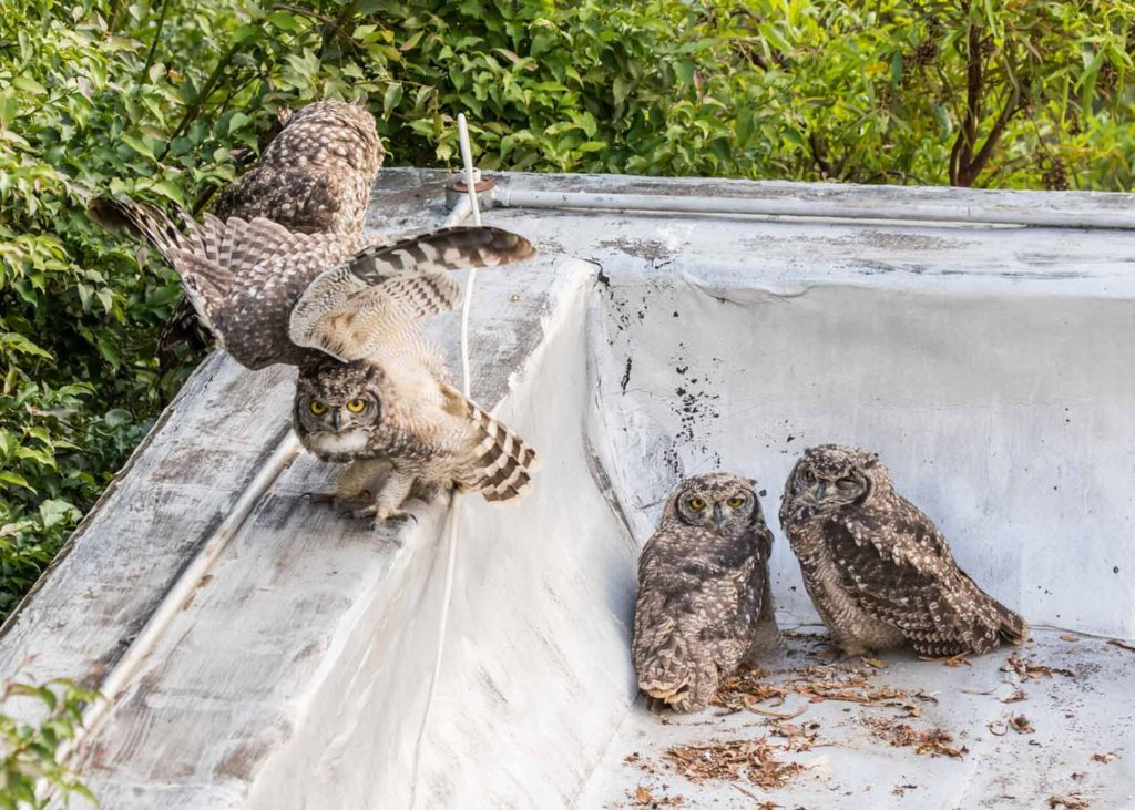 Owl chicks practicing hunting skills 09122020