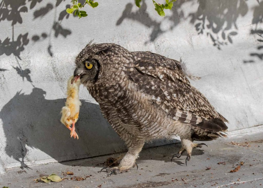 Owl chick eating 1 20122020