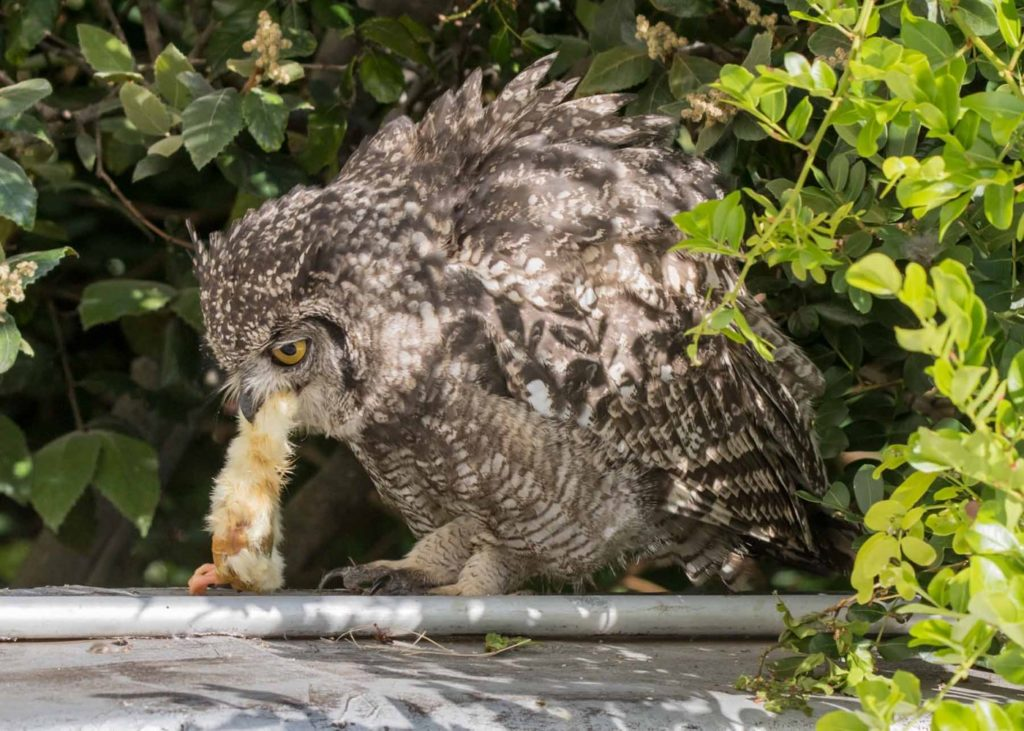 Owl chick eating 3 20122020