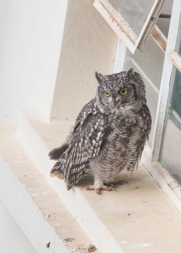 Owl on windowsill 8012021