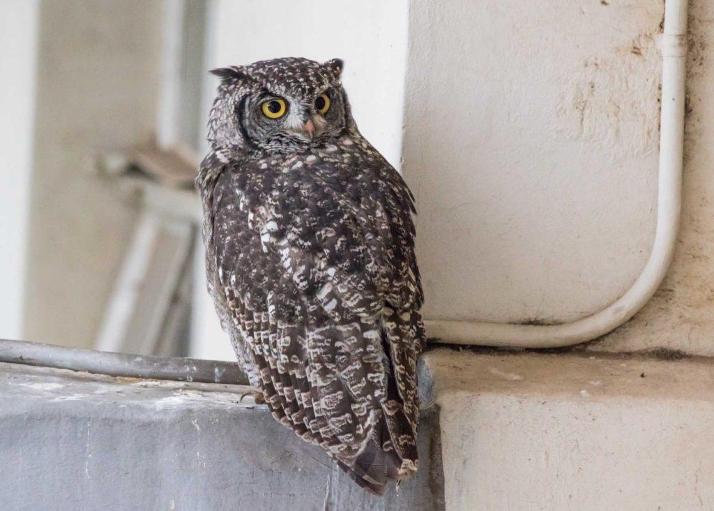 Owl 08012021
