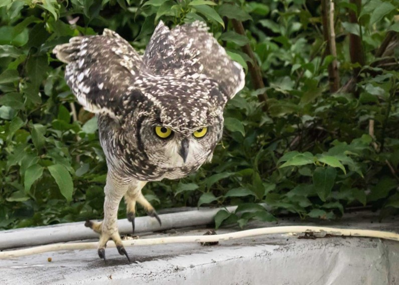 Owl chick pouncing on dinner picture 1 16012021
