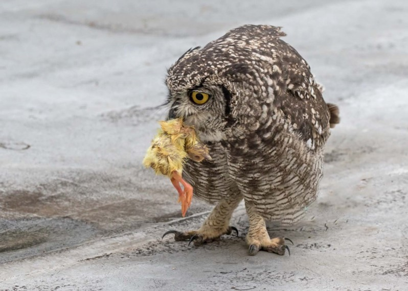 Owl chick picking up chick picture 3 16012021