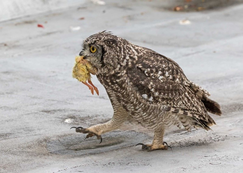Owl chick stalking off with chick picture 4 16012021