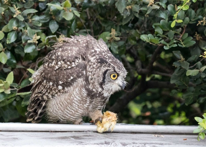 Owl chick eating chick picture 5 16012021