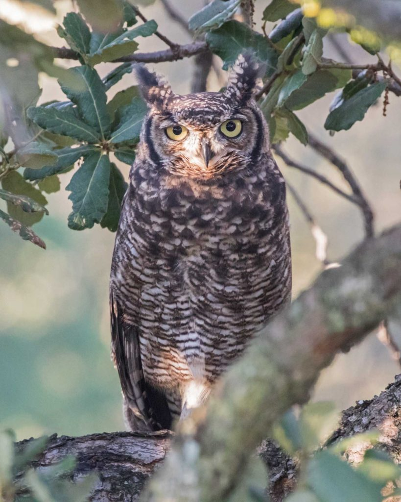 New male Spotted Eagle Owl 04032021
