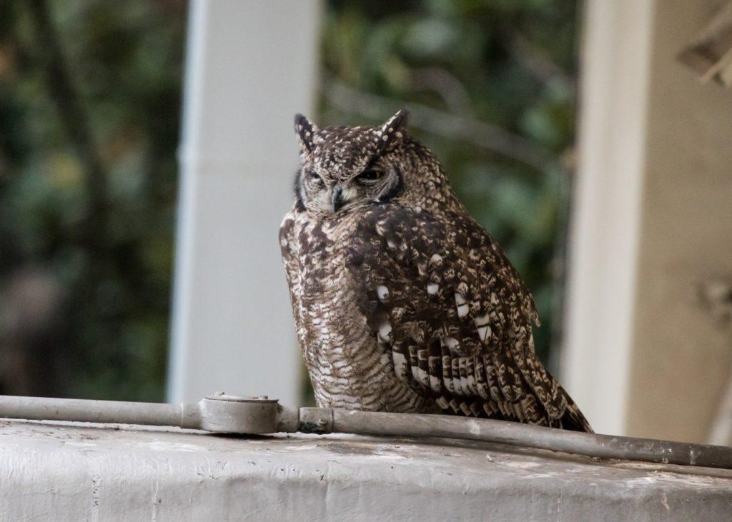 Female owl 'dozing' 18032021