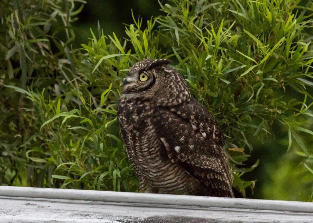 Male owl alert 18032021