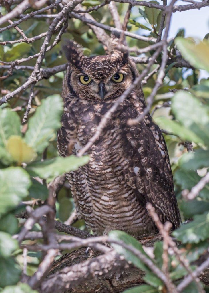 Male owl 29032021
