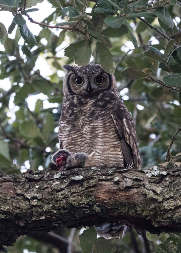Male owl with Common Mole Rate 27042021