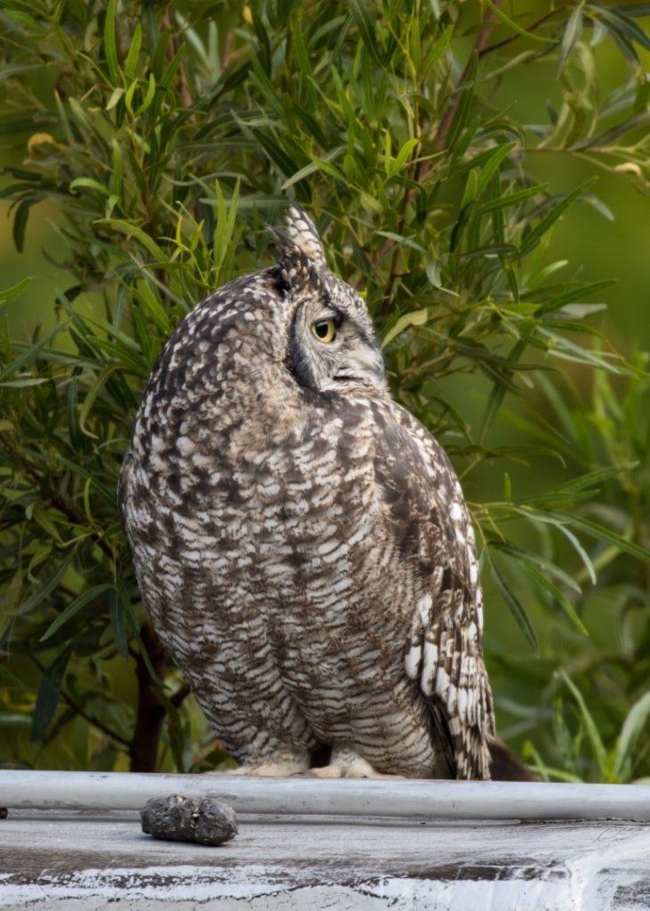 Owl 21042021