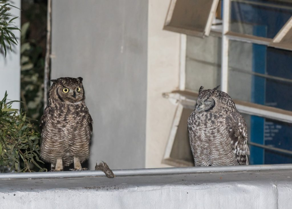 Owls on roof 26052021