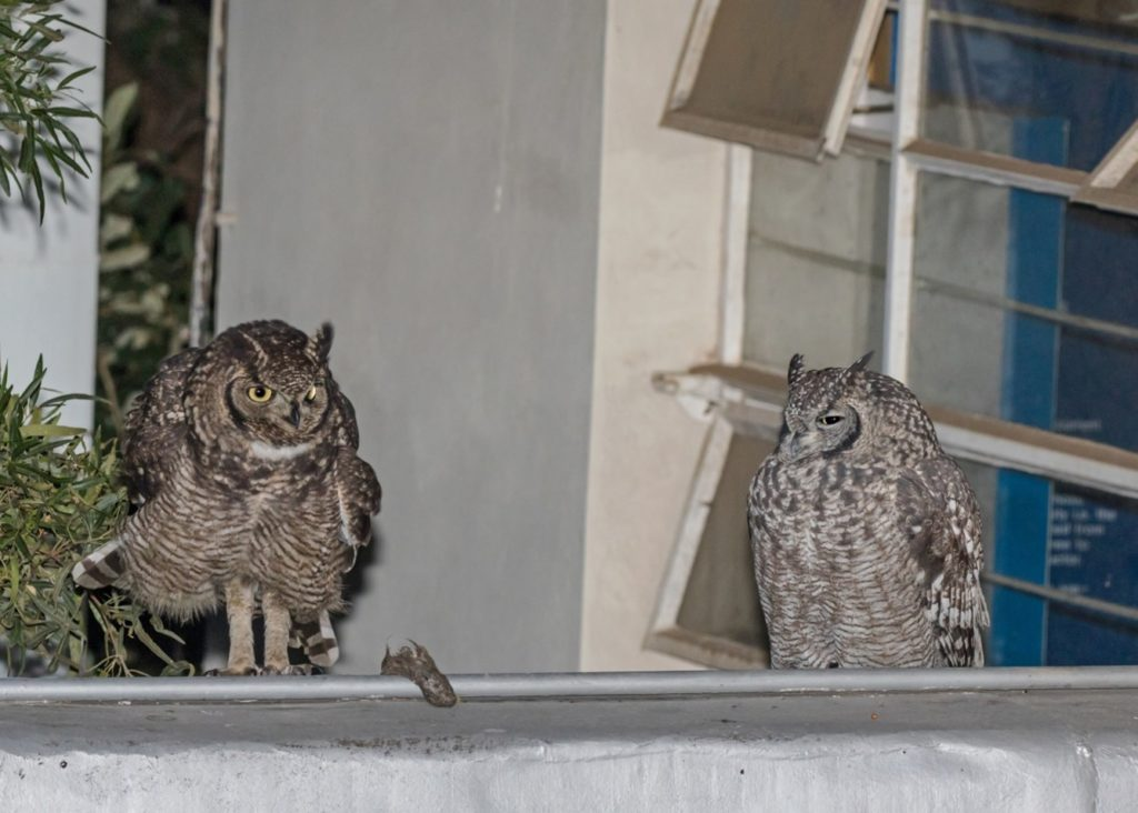 Owls on roof 26052021 Pic 2