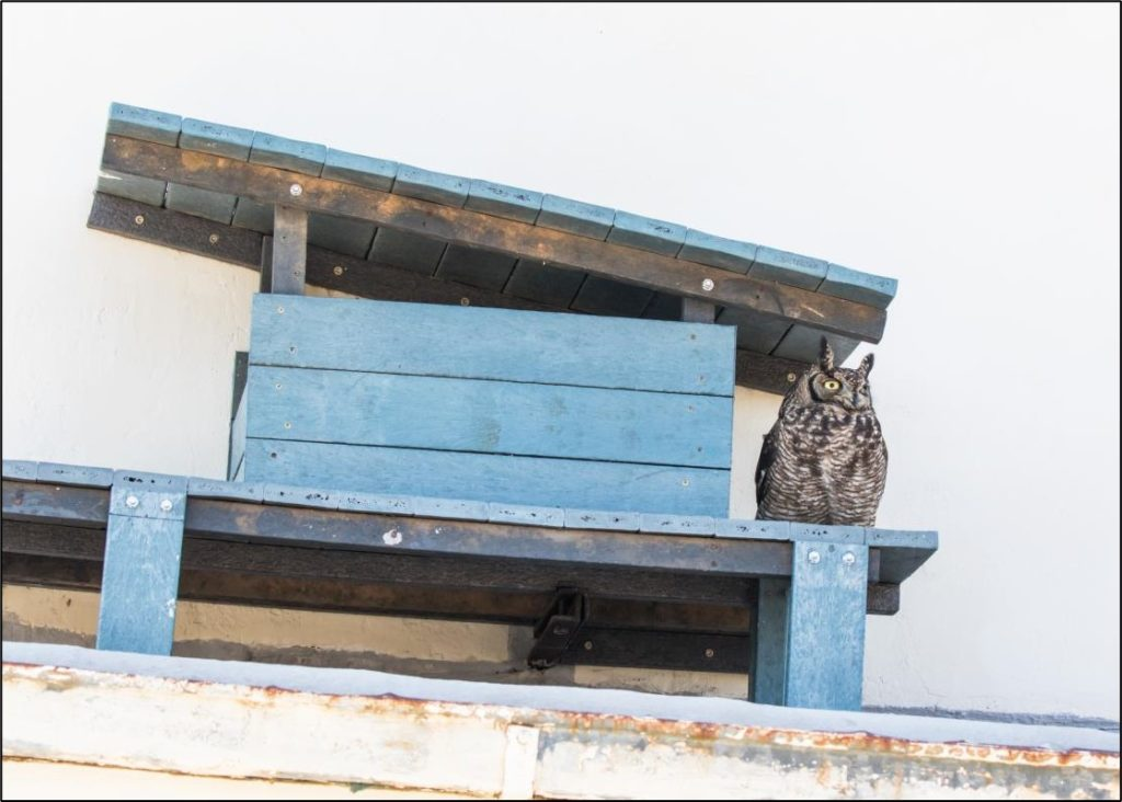 Male owl protecting his mate 12072021