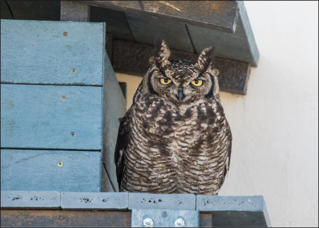 Male owl protecting his mate 2 12072021