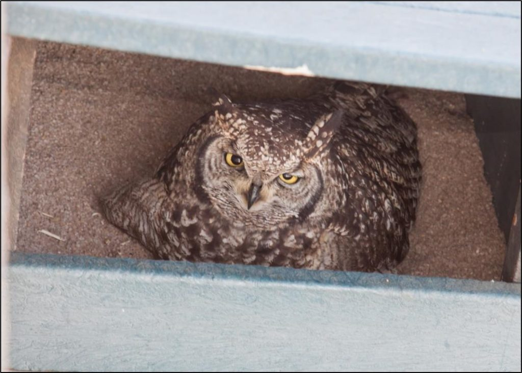 Female owl 17072021