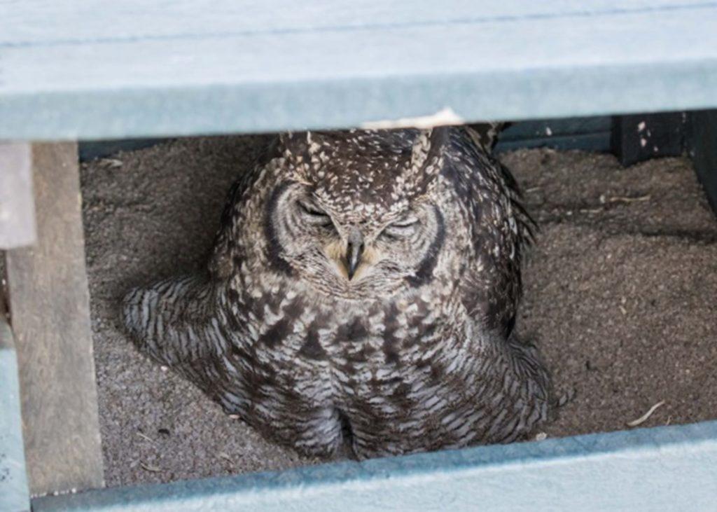 Female owl in the box 01072021