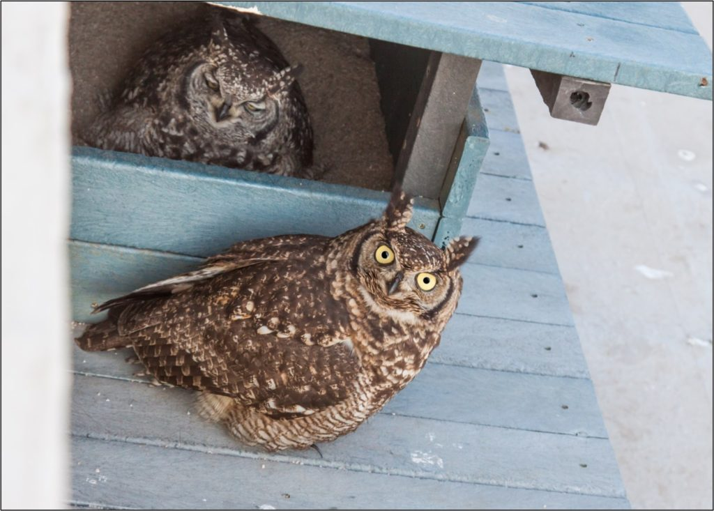 Male and female owl 17072021