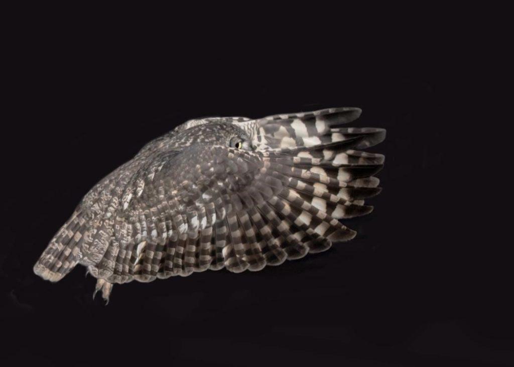 Female owl in flight 02072021