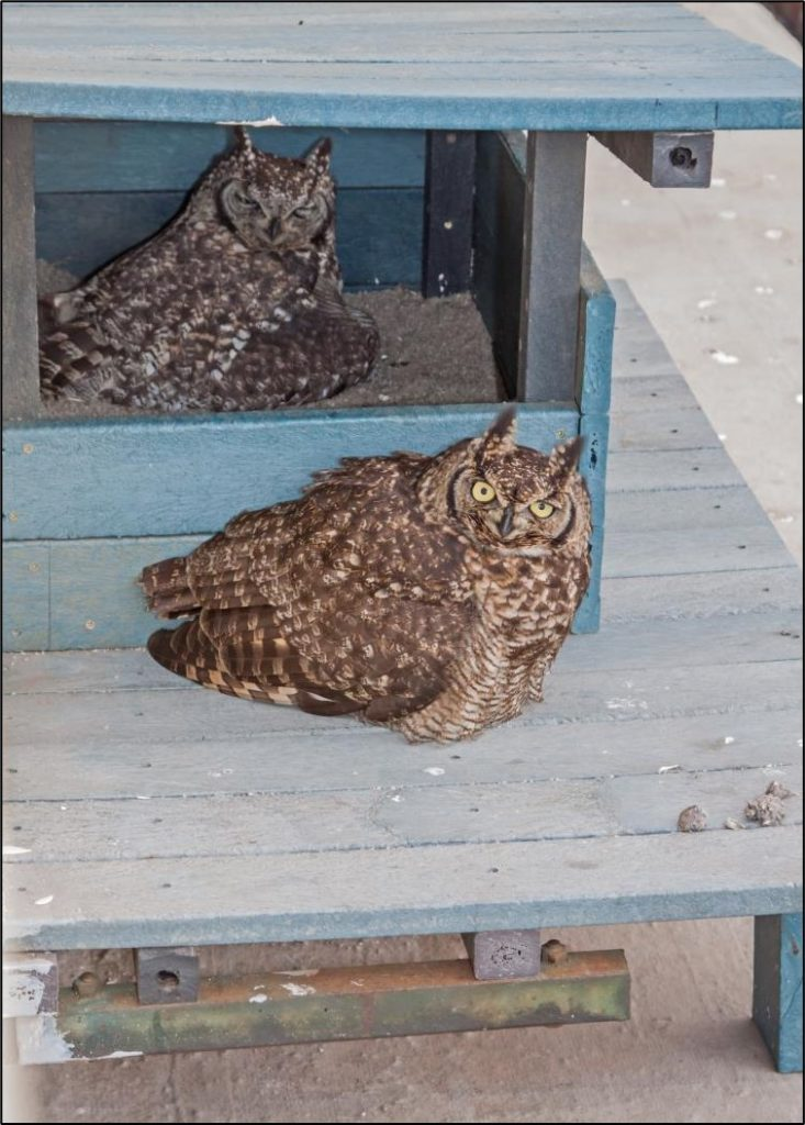 Male outside and female inside the owl box 15082021