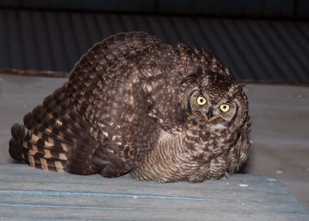 Male owl 18082021