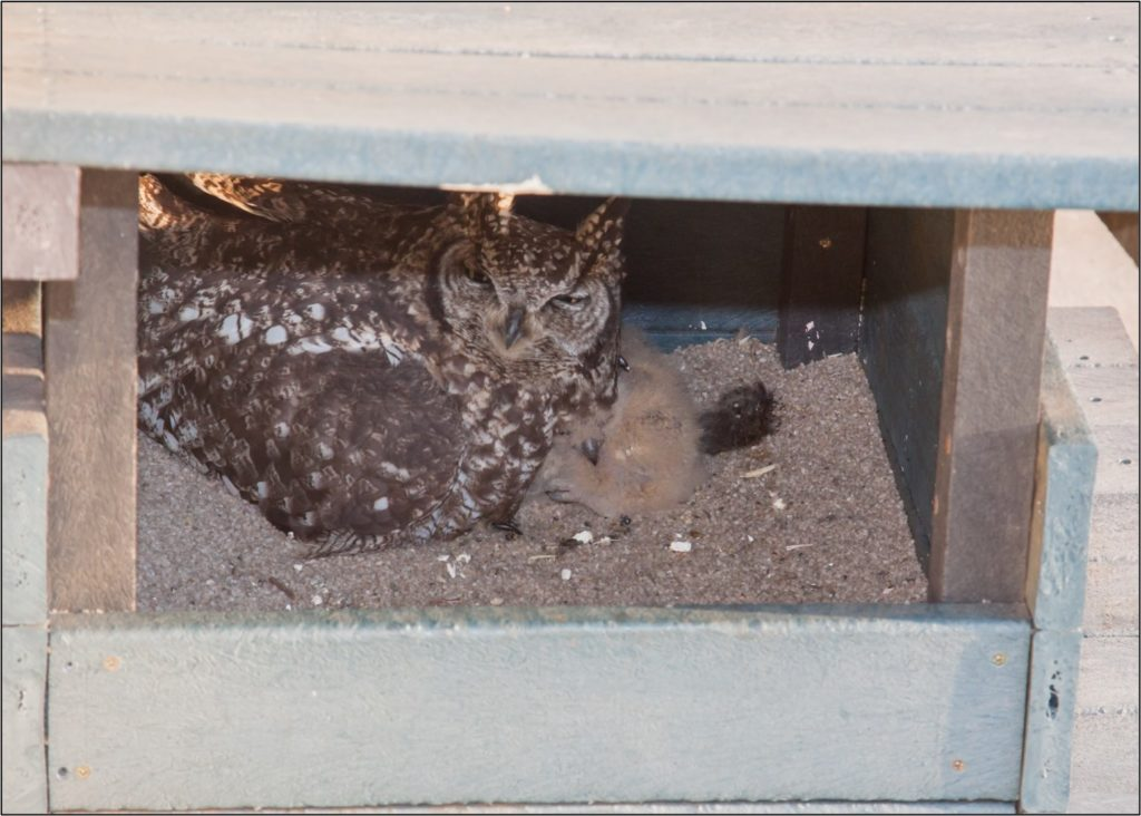 Female owl with 2 chicks 18082021