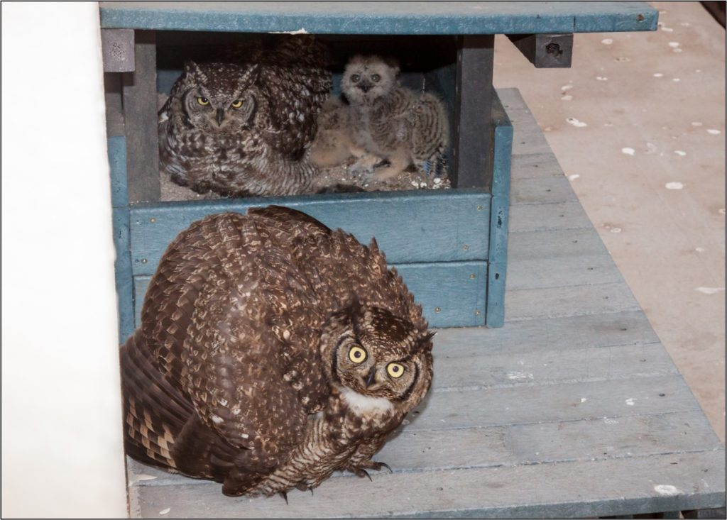 Male owl and chick with fanned feathers - threat display 23082021