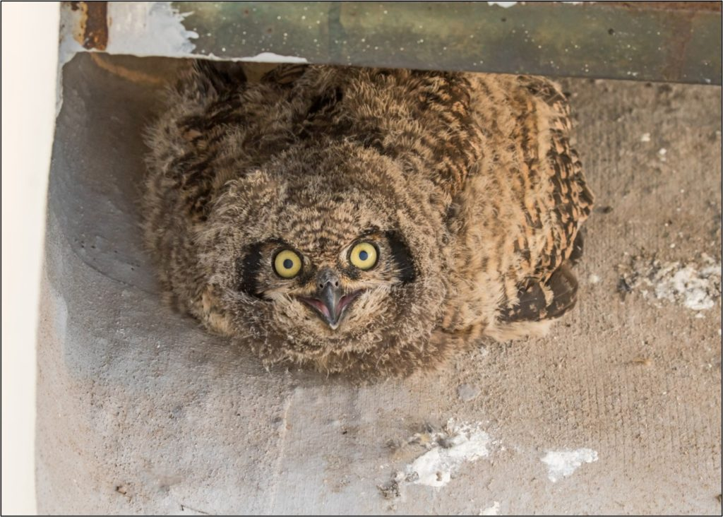 Owl chick 2 09092021