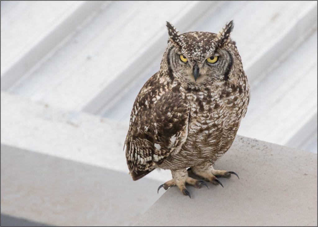 Female owl 09092021