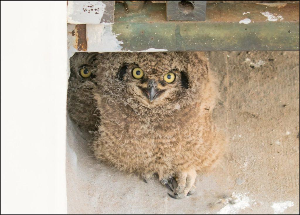Owl chick 09092021