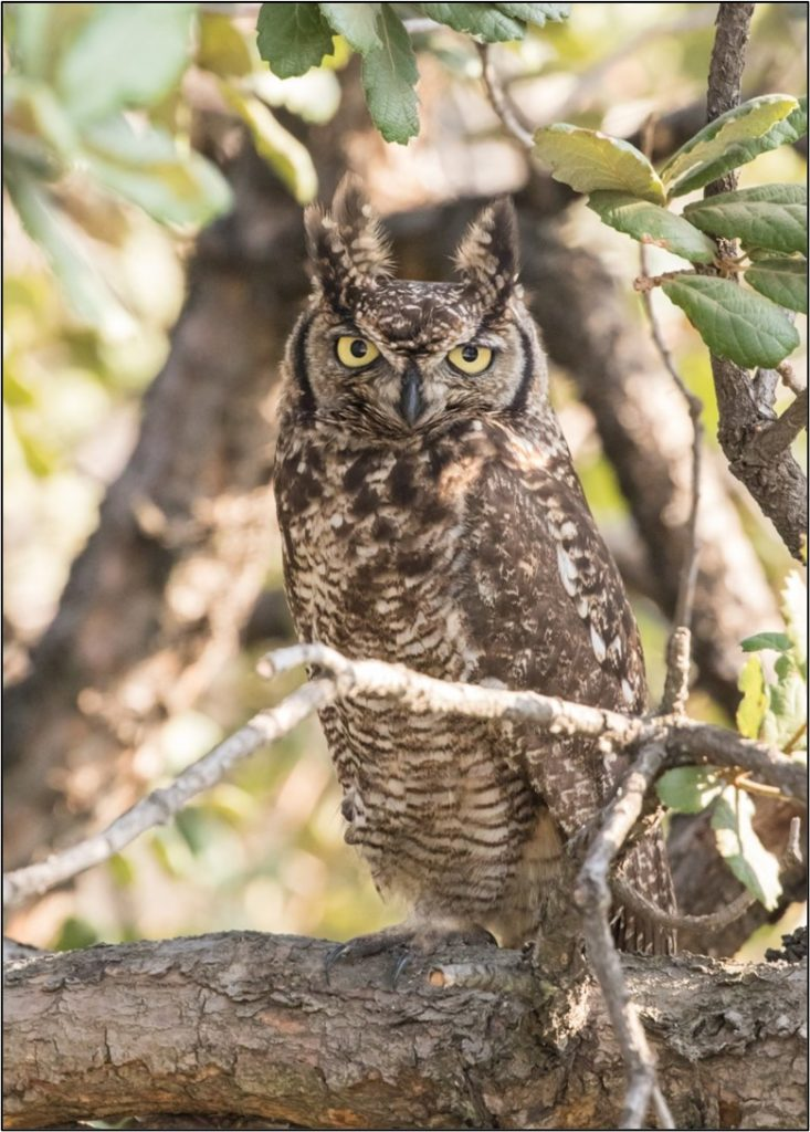 Male in the Evergreen Oak 04092021