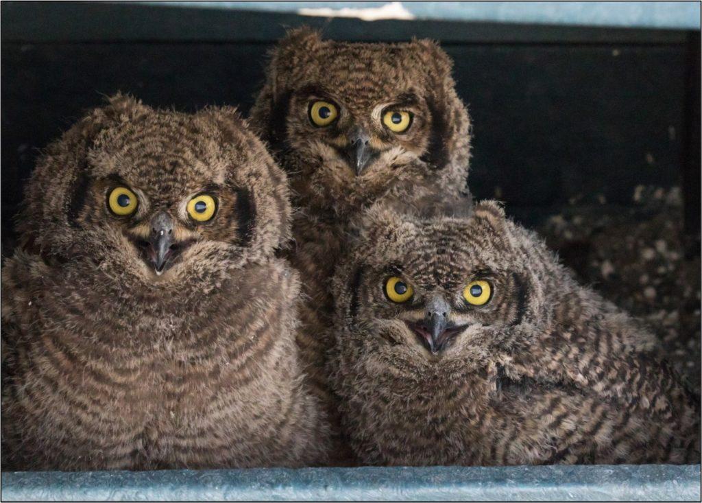 Owl chicks 15092021